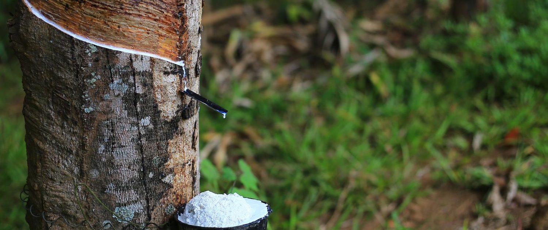 shutterstock 537838792 result 1500x630 Lateks Ağacı Hakkında Geniş Bilgi